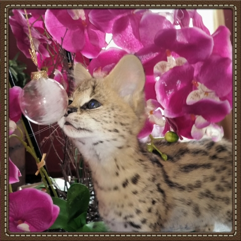 well socialized and human imprinted serval kittens